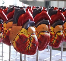Hjärtmodeller & blodomloppet