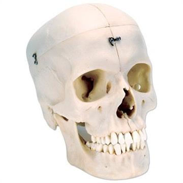 BONELIKE kranie - 6 dele