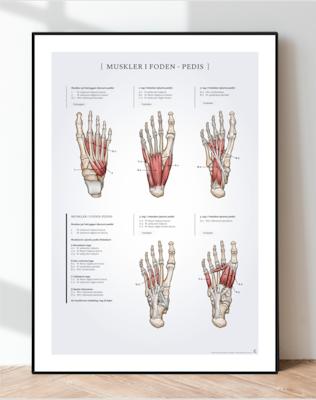 Muskler i foden - pedis