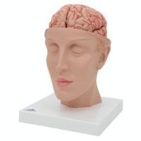 Hjernemodel der viser arterier, vener og den indre kraniebund. Hjernen kan tages ud og deles i 8