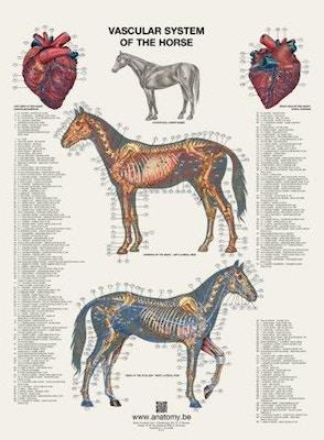 Plakat med hestens hjerte og blodkar på latin og engelsk-latin