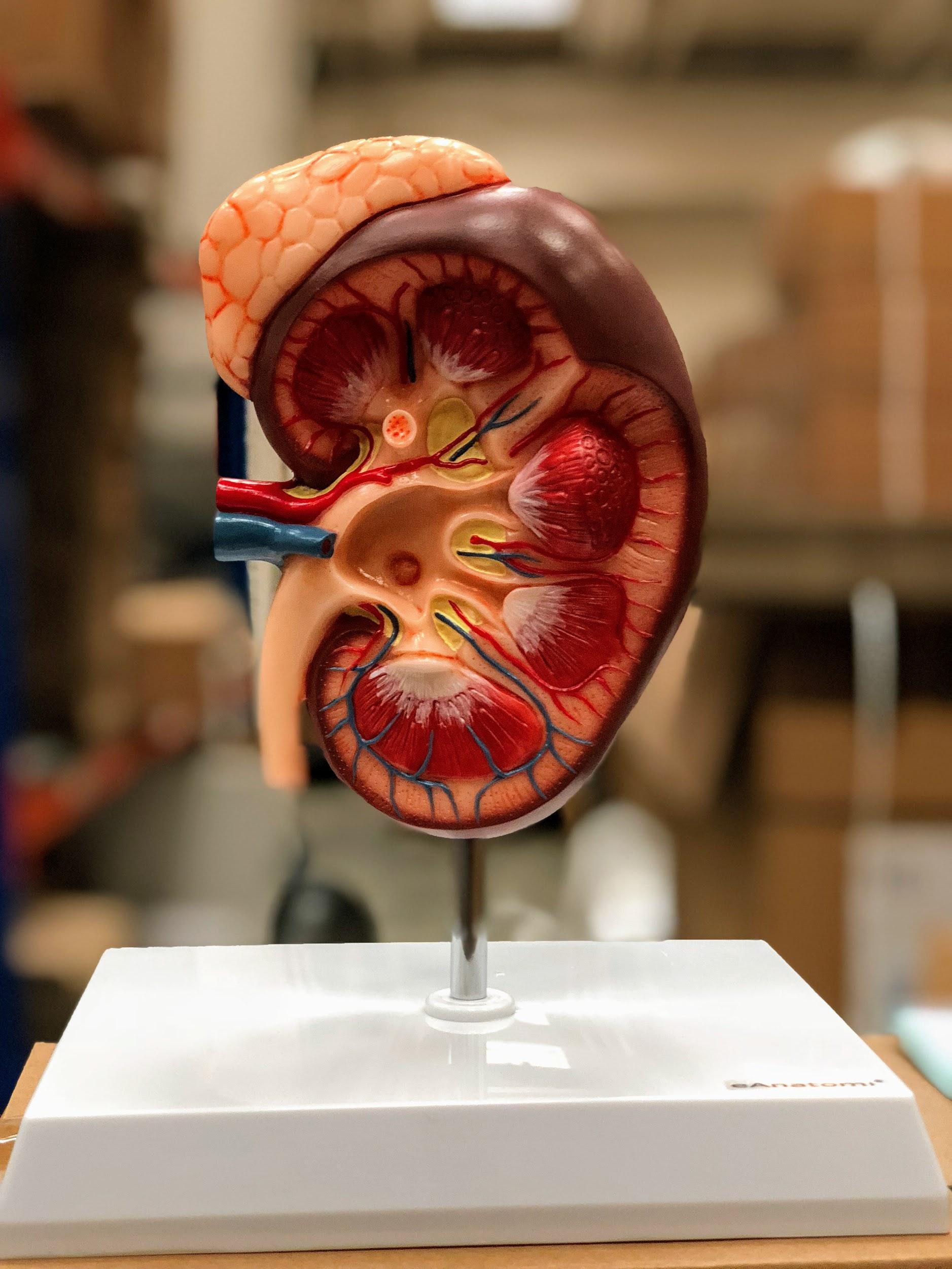 Forstørret nyremodel inkl. binyren som viser et længdesnit af nyren