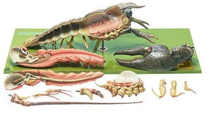 Hummer (Astacus astacus) i højeste kvalitet og forstørret. Kan adskilles i 13 dele