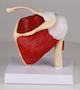 Skuldermodel med muskler og ledbånd inkl. oversigt med latinske navne