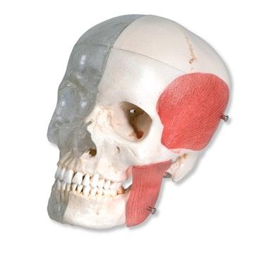 BONELIKE kranie med masticatormuskler & halv gennemsigtig kraniehalvdel