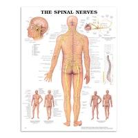 Plakat om spinalnerverne på engelsk
