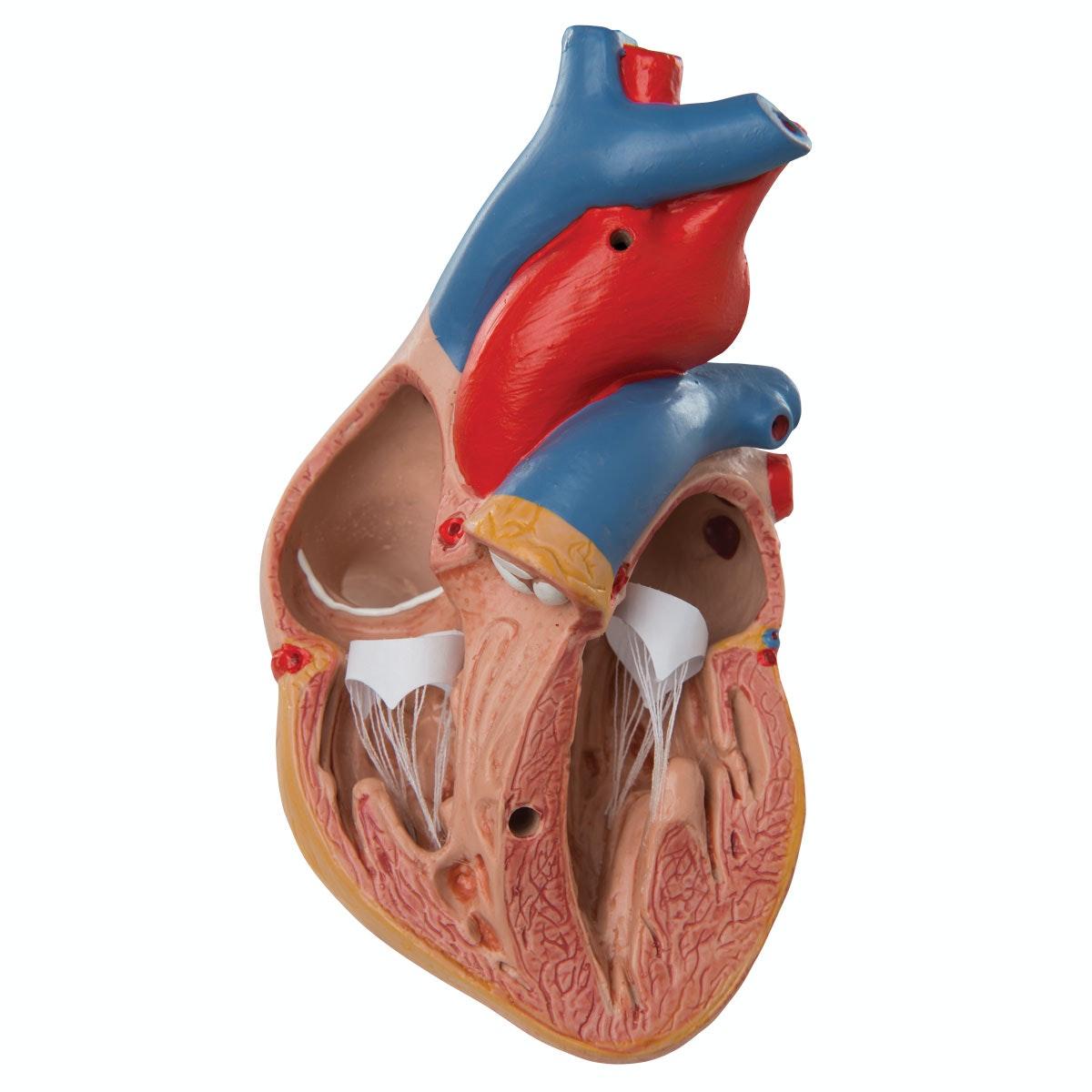 Formindsket hjertemodel inklusiv thymus