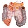 Meget detaljeret torso med 23 udtagelige dele, lys hud og udskiftelige kønsorganer