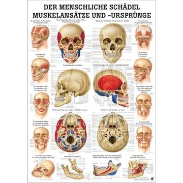 Kranieplakat med muskelhæftepunkter lamineret med sorte metallister tysk latin