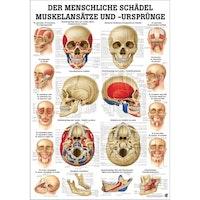 Lamineret plakat med farvet muskelangivelser på kraniet på latin (men tysk overskrift)