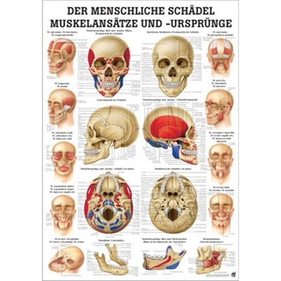 Laminerad kranieplansch med muskelfästen tyska & latin