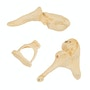 Ossicle knogler model