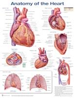 Hjärtats anatomi laminerad affisch engelska