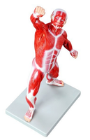 Komplett, detaljert og fasinerende muskelmodell på kun 50 cm