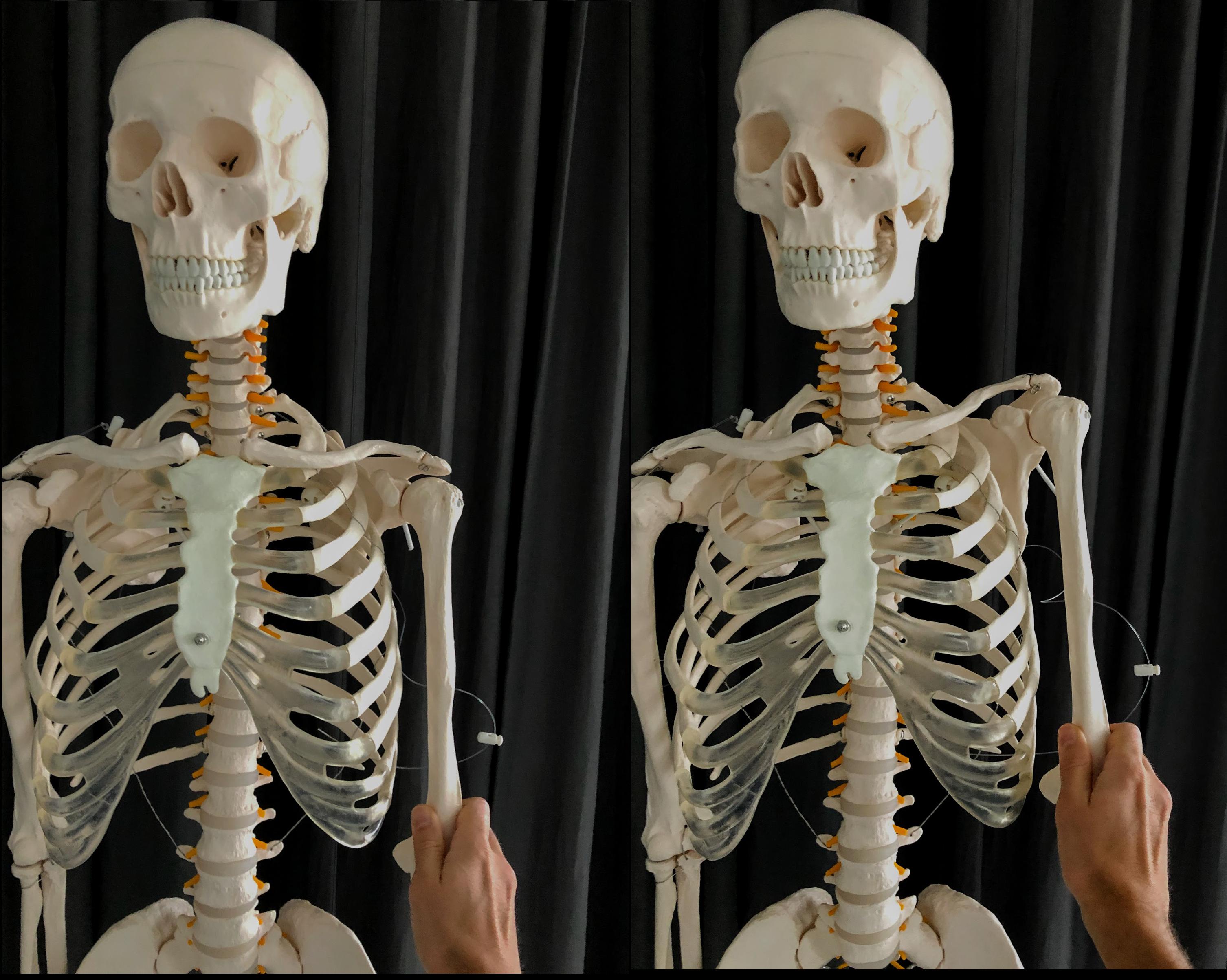 Skelet med høj knoglekvalitet, meget fleksible hofteled og bevægelige skulderblade