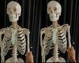 Skelet med meget naturtro knogler og særlig bevægelige skulderblade, skulderled og hofteled