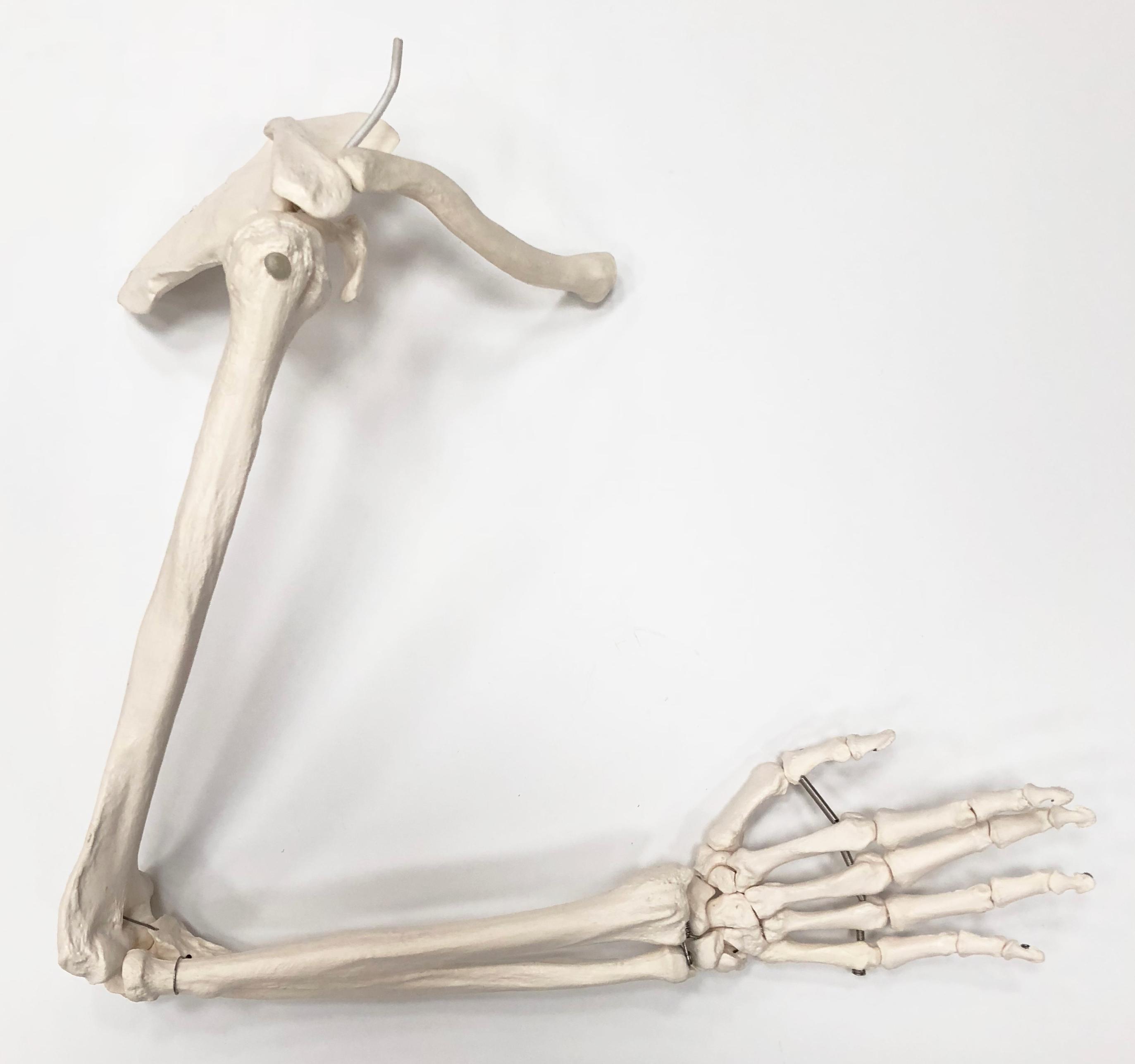 Armskelet med bevægelige led