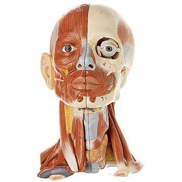 SOMSO Hoved med muskulatur