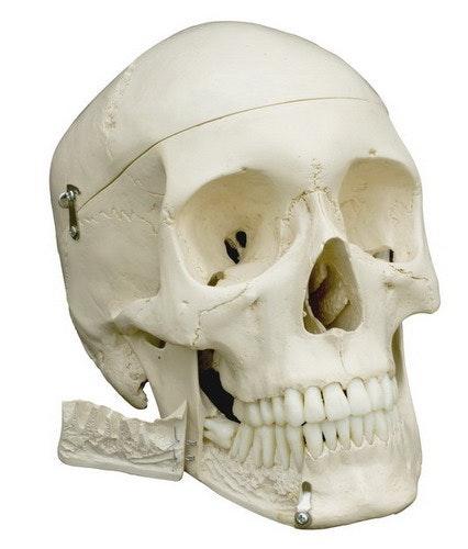 Rüdiger kranie, 3-delt med udtagelige tænder