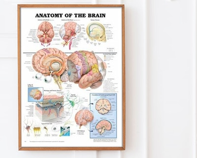Brain posters & nervous system posters