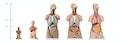 Betagende mini torso med 14 udtagelige dele, muskler og kønsløs