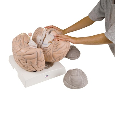 FORSTØRRET 14-delt hjernemodel