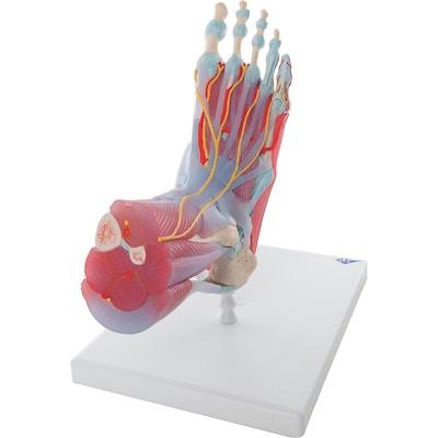 Komplet fodmodel med ledbånd, muskler, kar og nerver - kan adskilles i 6 dele