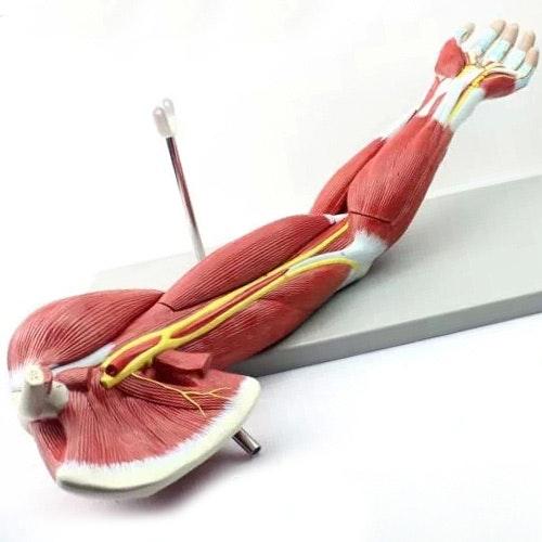 Komplet model af arm med muskler i relation til større kar og nerver - kan adskilles i 7 dele