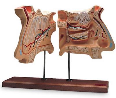 Model af næsehule og olfaktorisk organ