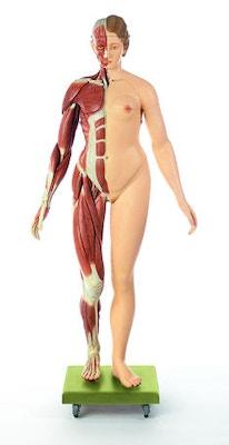 SOMSO Kvindelig muskelfigur
