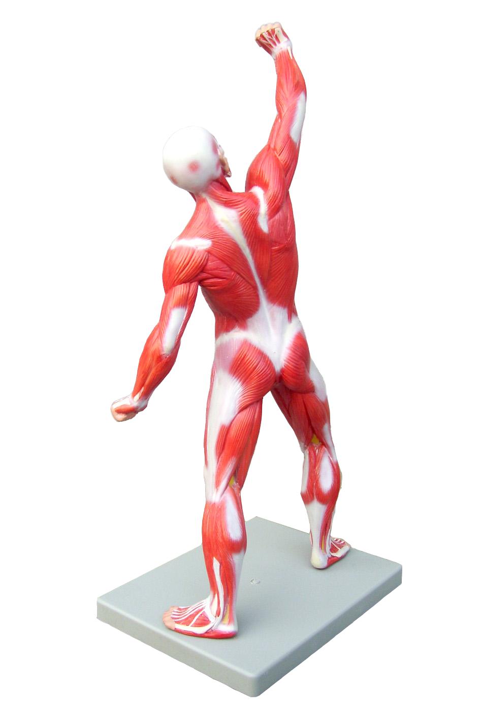 Muskelfigur på 50 cm