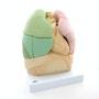 Lungemodel med hjerte, bronkier og segmenter
