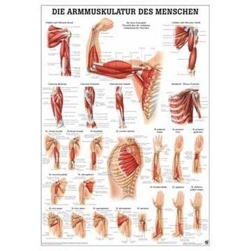 Armens muskulatur plakat lamineret med sorte metallister