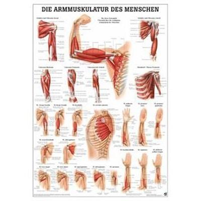 Lamineret muskelplakat om armens muskler på latin & tysk