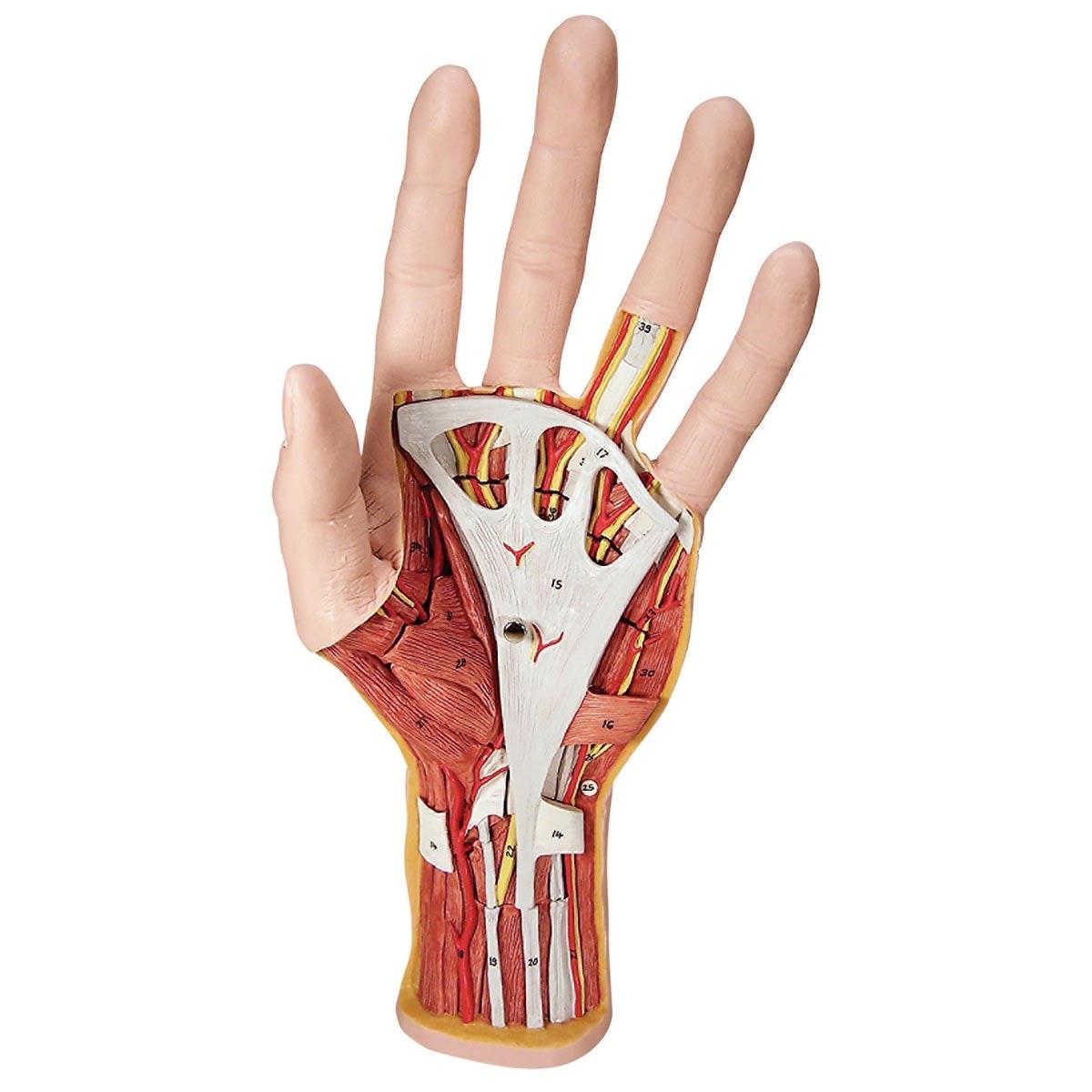 Håndmodeller