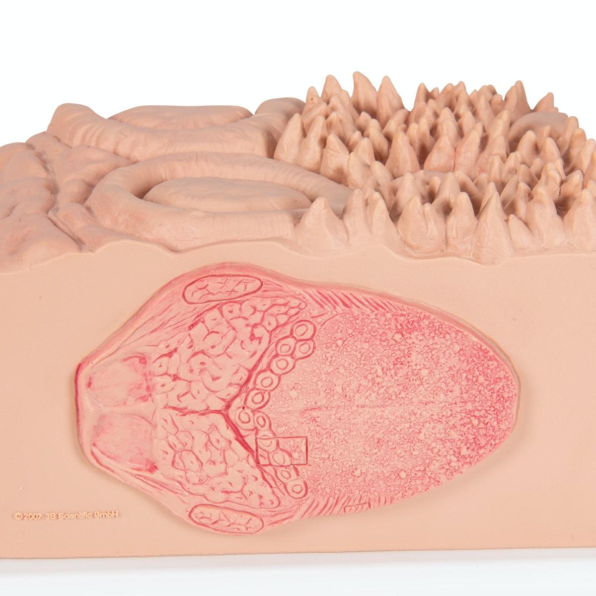 Detaljeret model af tungens forskellige væv i et mikroskopisk perspektiv