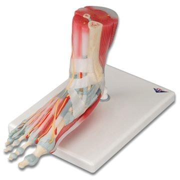 Fod med muskler, kar, nerver, ligamenter i seks dele