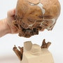 antropologisk kranie af Homo (sapiens) neanderthalensis