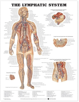 Plakat om lymfesystemet på engelsk