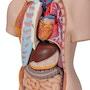 Meget detaljeret torso med 15 udtagelige dele og kønsløs