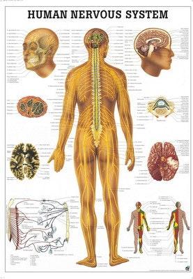Engelsk nervesystemplakat lamineret med metalister