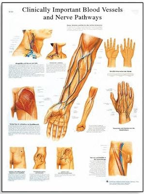 Klinisk viktiga blodkärl och nerver (clinically important blood vessels and nerves)