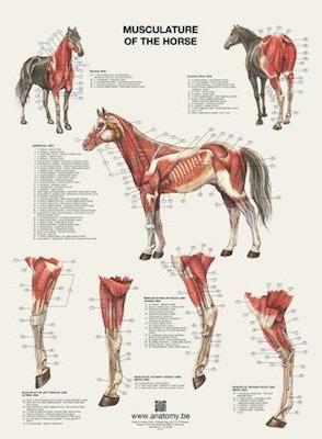 Plakat med hestens muskler på latin og engelsk-latin