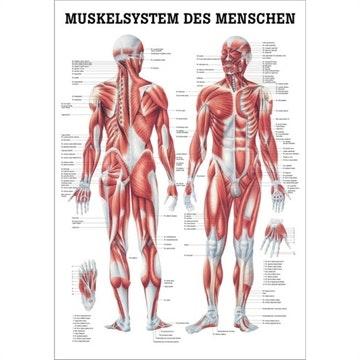 Muskelplakat lamineret med sorte metallister tysk og ren latin