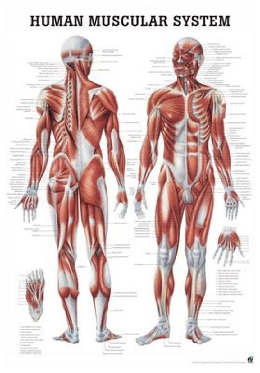 Muskelsystemet plakat med engelsk tekst til indramning