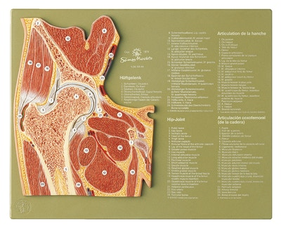 SOMSO Model af seksion gennem hofteld