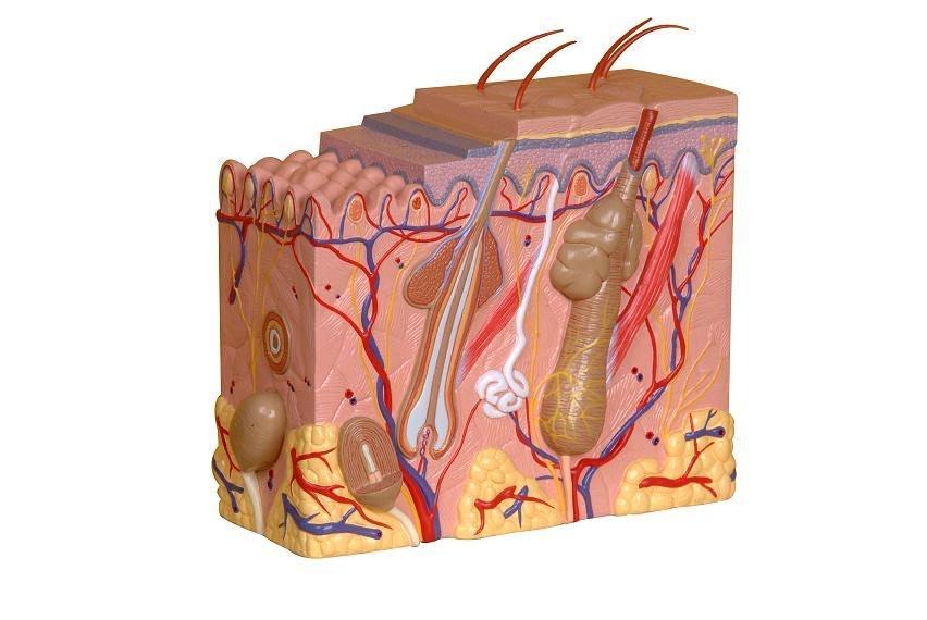 Klassisk og detaljeret hudmodel af ét hudområde