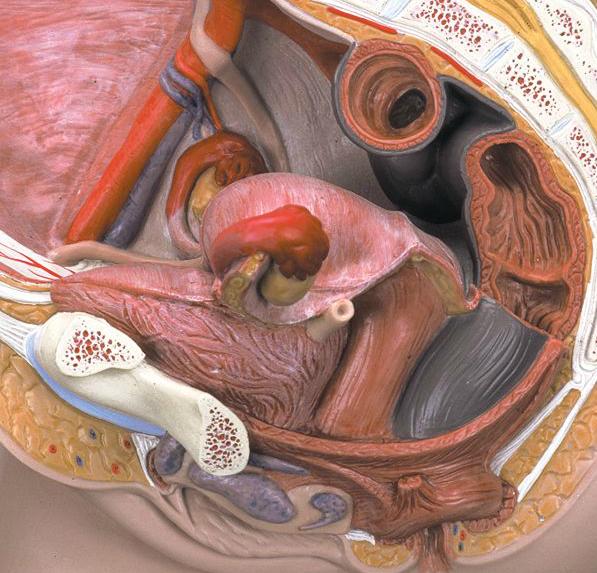 norske kvinnelig kjønnsorgan anatomi