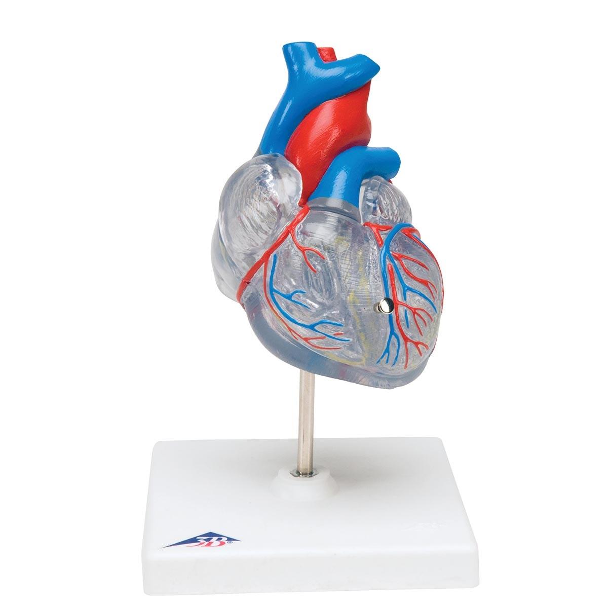 Formindsket og gennemsigtig hjertemodel med impulsledningssystemet