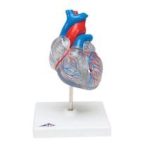 Gjennomsiktig klassisk ungt hjerte med fordelingssystem, to deler.
